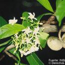 Image of <i>Tabernaemontana arborea</i> J. N. Rose ex J. D. Sm.