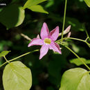 Image of <i>Xylophragma seemannianum</i> (Kuntze) Sandwith