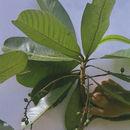 Image of <i>Campnosperma panamense</i> Standl.