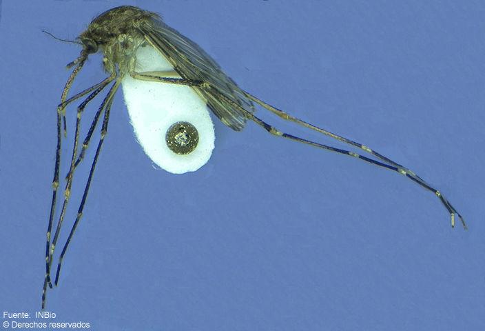 Image of <i>Psorophora ferox</i> (Van Humboldt 1819)