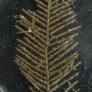 Image of <i>Abietinaria inconstans</i> (Clark 1877)