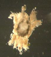 Image of Halacaroidea
