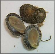 Image of Chytriomycetaceae