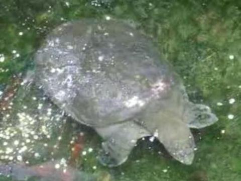 Image of Shanghai soft-shell turtle