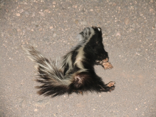 Image of Striped Polecats