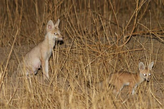 Image of African Sand Fox