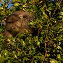 Image of Samango Monkey
