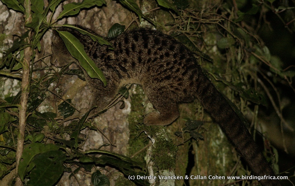 Image of African palm civet family