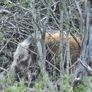 Image of Bush-pig