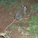 Image of Cape short-eared gerbil