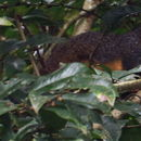 Image of Red-legged sun squirrel