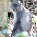 Image of Samango Monkey