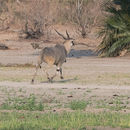 Image of East African eland or Patterson's eland