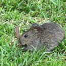 Image of Angoni Vlei Rat -- Angoni Vlei Rat