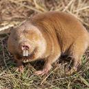 Image of African Giant Mole-rat -- Mechow's mole-rat
