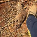 Image of Southern Giant Pouched Rat