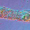 Image of <i>Limnognathia maerski</i> Kristensen & Funch 2000