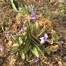 Image of <i>Viola yedoensis</i> Makino