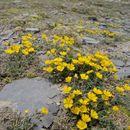 Image of <i>Potentilla argyrophylla</i> Wall.