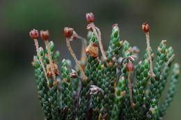 Image of <i>Cassiope selaginoides</i> Hook. fil. & Thomson