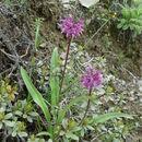 Image of <i>Allium forrestii</i> Diels