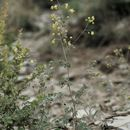 Image of Stinking Meadow-rue