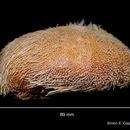 Image of <i>Brissopsis elongata</i> Mortensen 1907