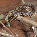 Image of (Western) Black Tree Snake