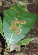 Image of Green Smooth-scaled Gecko