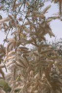 Image of Nile tamarisk