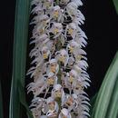Image of <i>Coelogyne multiflora</i> Schltr.