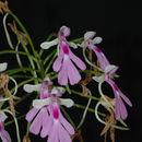 Image of <i>Cynorkis lowiana</i> Rchb. fil.