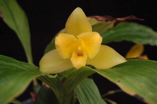 Image of <i>Lycaste macrobulbon</i> (Hook.) Lindl.