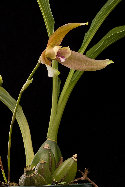 Image of <i>Lycaste schilleriana</i> Rchb. fil.