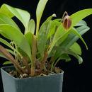 Image of <i>Phloeophila pelecaniceps</i> (Luer) Pridgeon & M. W. Chase