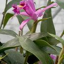 Image of <i>Sobralia wilsoniana</i> Rolfe