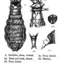 Image of <i>Habrotrocha fusca</i> (Bryce 1894)
