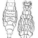 Image of <i>Macrotrachela speciosa</i> (Murray 1907)