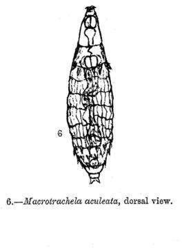 Image of <i>Macrotrachela aculeata</i> Milne 1886