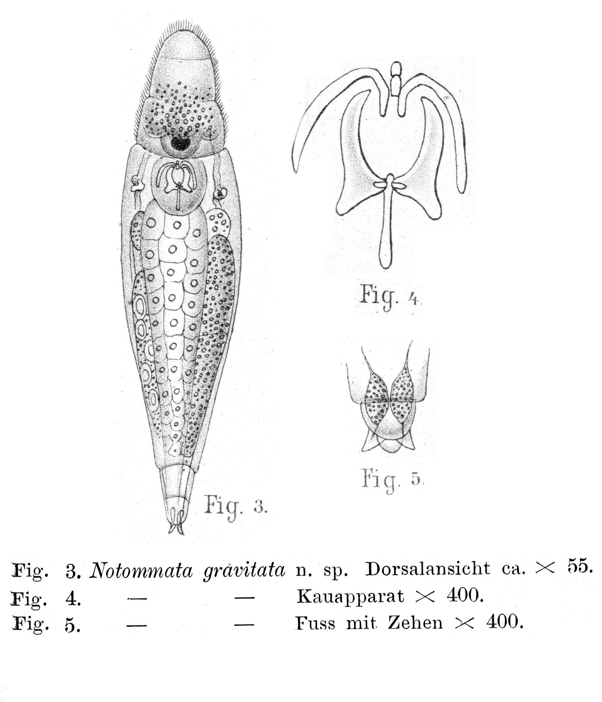 672.notommata gravitata lie pettersen  1905 jpg