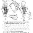 Image of <i>Philodina alata</i> Murray 1910