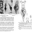 Image of <i>Philodina gregaria</i> Murray 1910