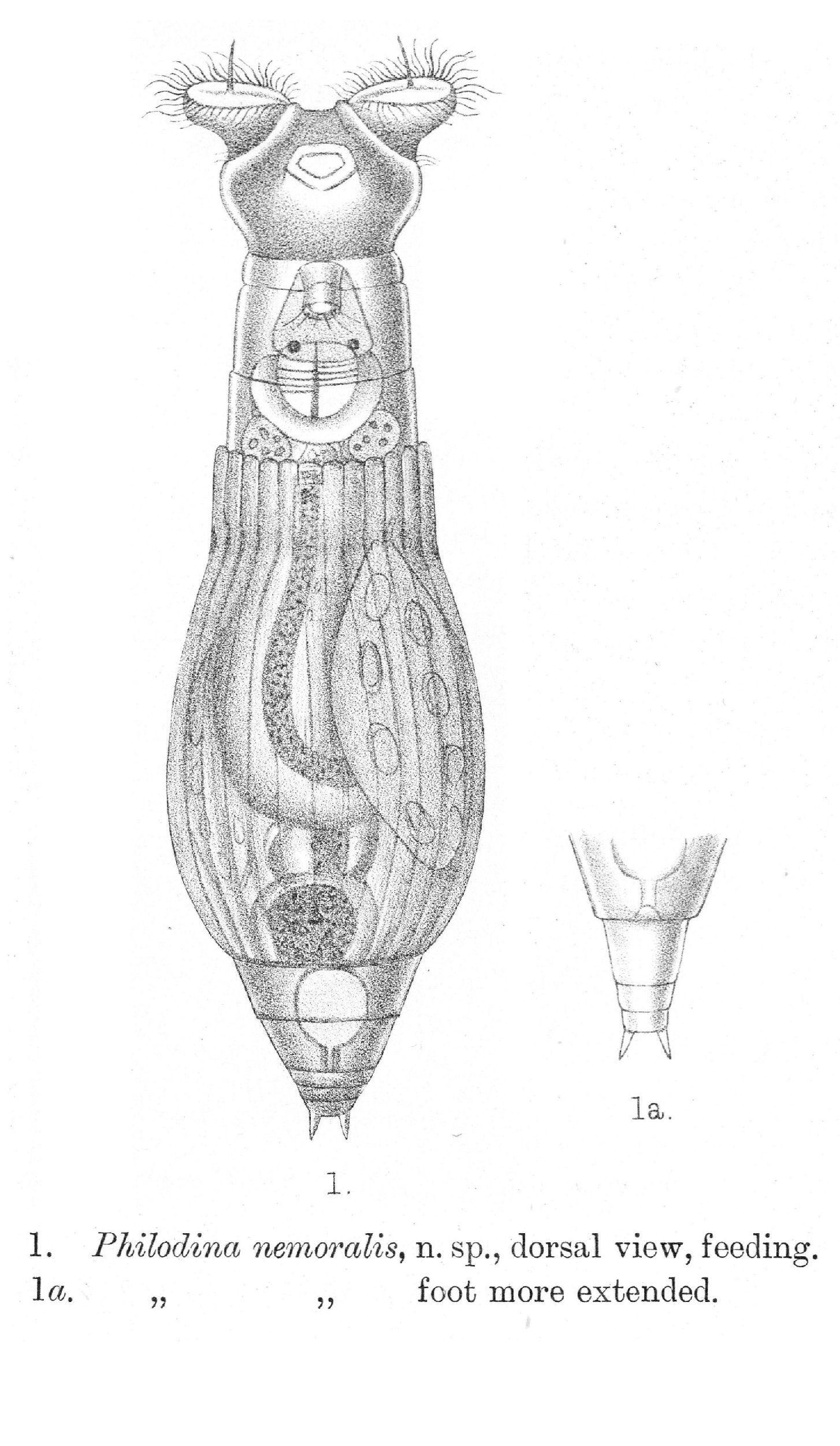 Image of <i>Philodina nemoralis</i> Bryce 1903