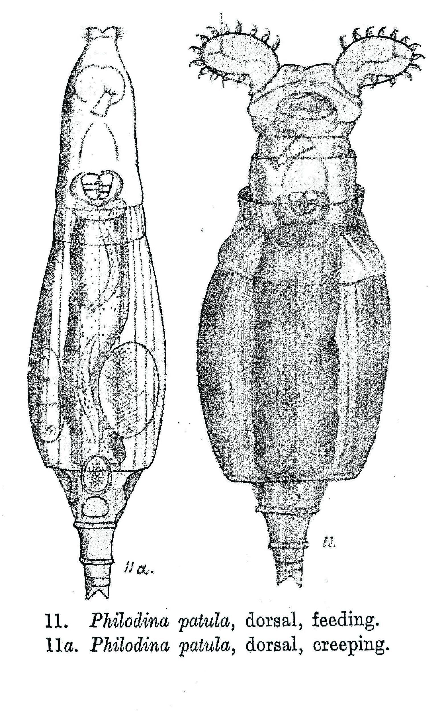 Image of <i>Philodina patula</i> Milne 1916