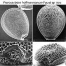 Image of <i>Prorocentrum hoffmannianum</i>