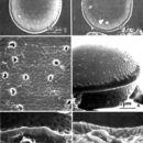 Image of <i>Prorocentrum maculosum</i>