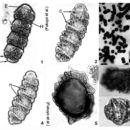 Image of <i>Cochlodinium polykrikoides</i>