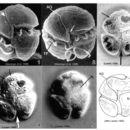 Image of <i>Gymnodinium pulchellum</i>