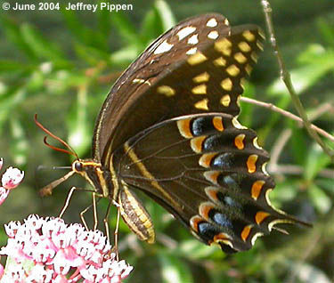 Image of Palamedes or Laurel Swallowtail