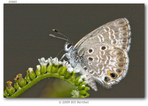 Image of Miami Blue Butterfly